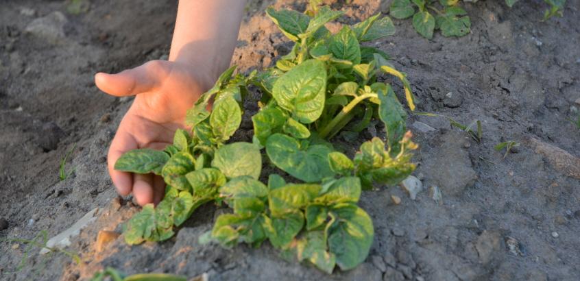 Barnhand som rör vid grödor i jorden.