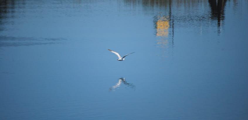 Mås som flyger nära vattenytan.