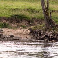 Kor betar vid strandkanten. Fotot är taget utifrån vattnet och in mot land.